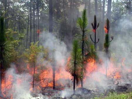 Fire in juvenile longleaf pine