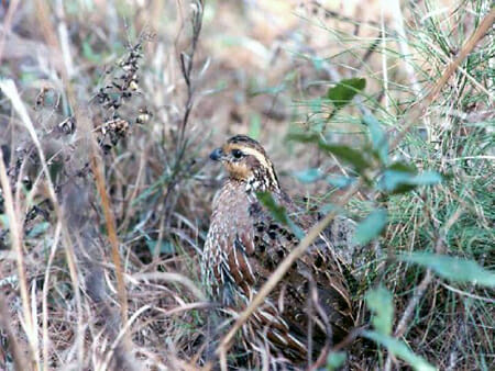 Quail hen in cover