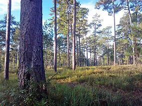 Longleaf Forest on Dogwood Plantation