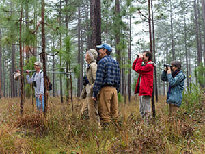 Looking for Bachman's sparrows in a Georgia longleaf pine forest. Photo by Tara Tanaka