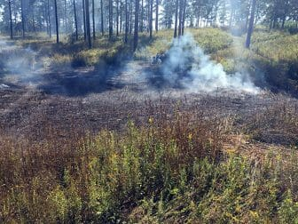 Mowing and burning for Longleaf pine replanting