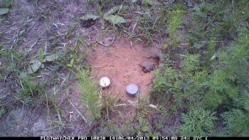 Gopher Tortoise Hatchlings