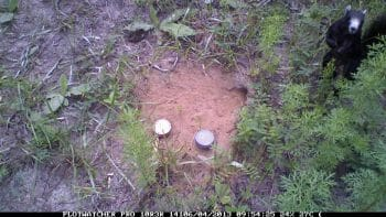 Gopher Tortoise Hatchlings with fox squirrel