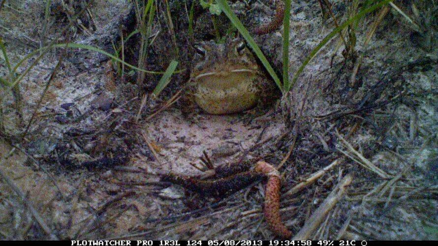 Toad in tortoise burrow