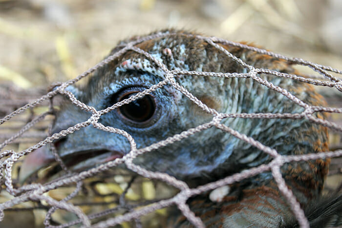 Turkey Trapped in net