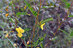 Chamaecrista-fasciculata---neutral-response-to-disturbance