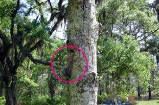 Dead chickadee hanging from nuthatch nest