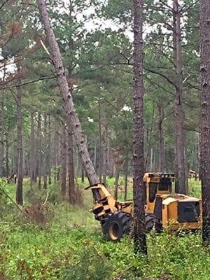 Removing Pine-April 2017