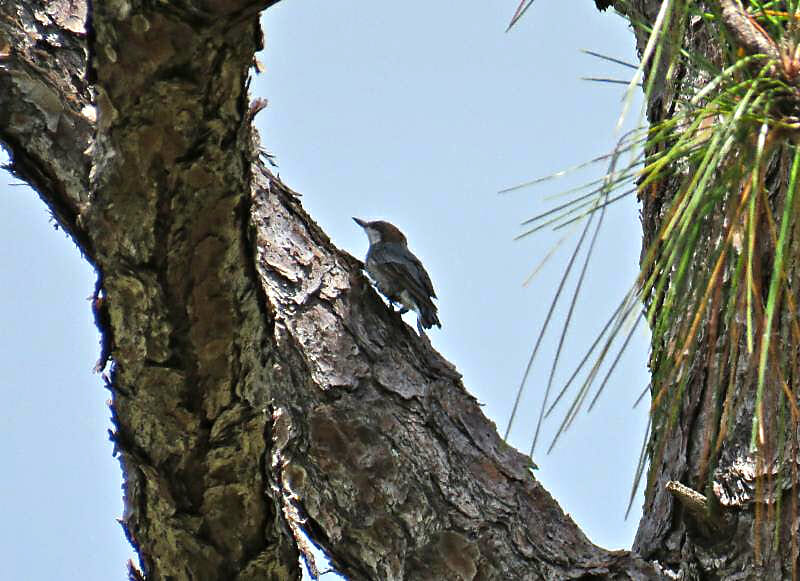 Brown-headed Nuthatch at Jonathan Dickinson State Park that was translocated in August 2018.