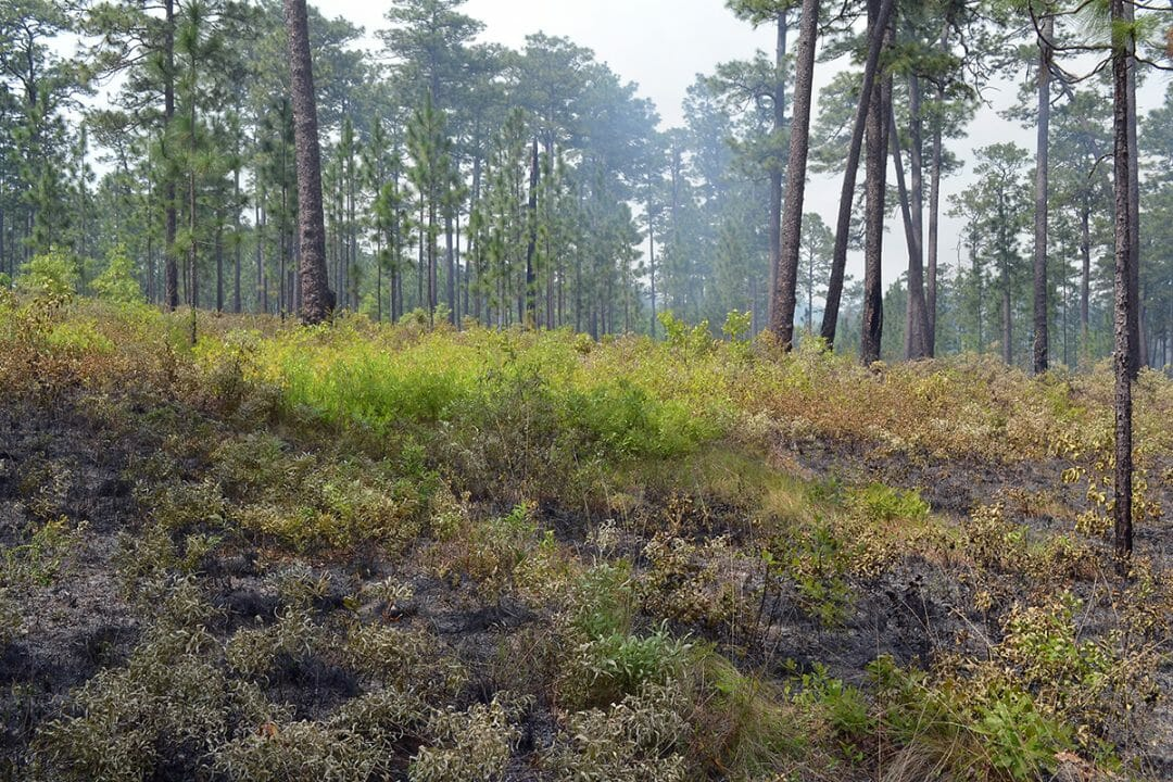 Unburned patch in a gap following a burn on the Wade Tract, with an cluster of longleaf pine that became established about 20 years earlier in the background.