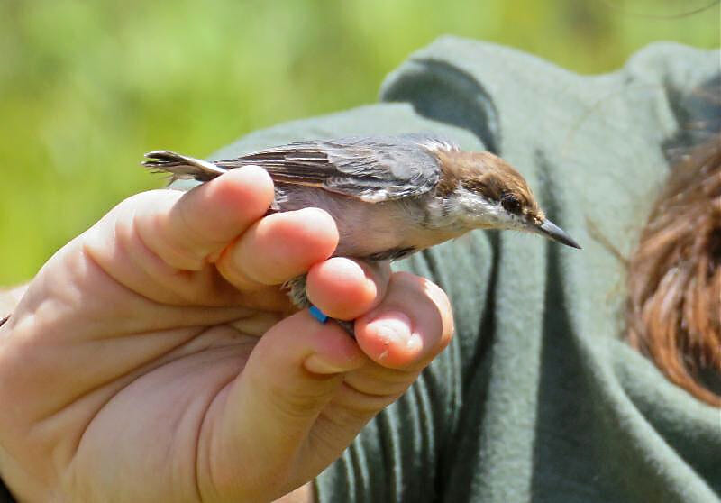 Brown-headed Nuthatch about to be reintroduced to Jonathan Dickinson State Park near Jupiter, Florida.
